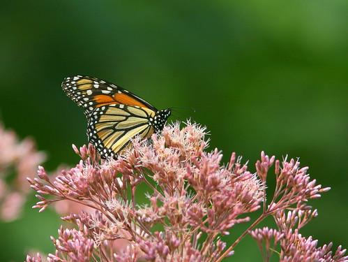 Monarch 20100807