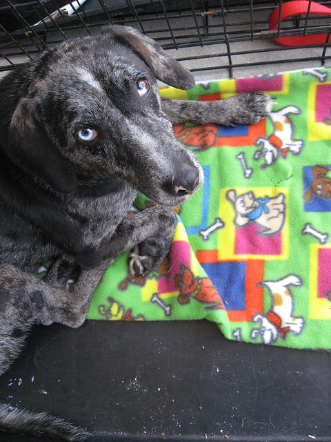 Tia is a female Blue Heeler - Lab mix who is waiting for her forever home at
