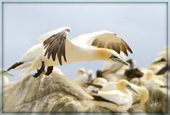 Landing (Viv Buckley Little bib) Tags: salteeisland challengegroupgame thechallengegame challengegamewinner ganets