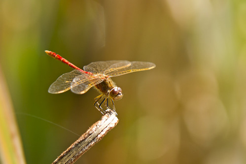 Red Dragonfly #2
