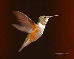Rufous Hummingbird (Eddy Matuod) Tags: creative moment creativemoment
