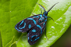 Be-Jeweled (Seth Patterson) Tags: india foothills animals nationalpark wildlife moth insects lepidoptera assam eastern himalayas invertebrates tigerreserve nameri mothsofindia cleleasapphirina oubariwildlifecamp