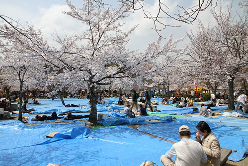 Never been seen at hanami without Blue tarps