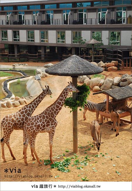 【新竹住宿】來去和動物住一晚~關西六福莊生態渡假旅館12