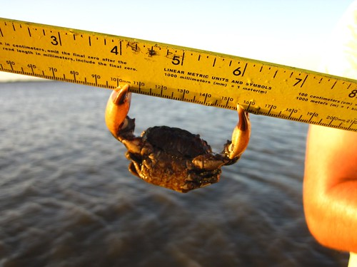 stone crab clutching a ruler