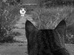 New kit on the block (Fray Bentos) Tags: cats pets kitty tiddles territorialbehaviour thecatwhoturnedonandoff felinebehaviour