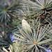 """Pigna """"in erba"""" - Small cone"""