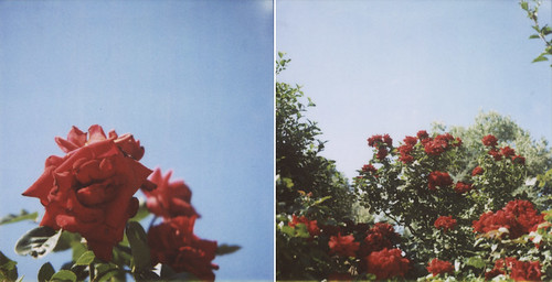 Red roses, blue sky.