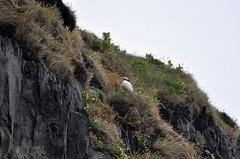 Gardar (Sabie70) Tags: iceland puffin papageientaucher gardar