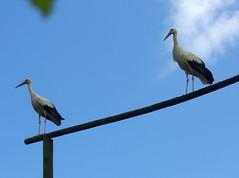 CIMG3511 (pinktigger) Tags: blue italy bird nature italia stork storks friuli fagagna cicogne cicogna oasideiquadris feagne