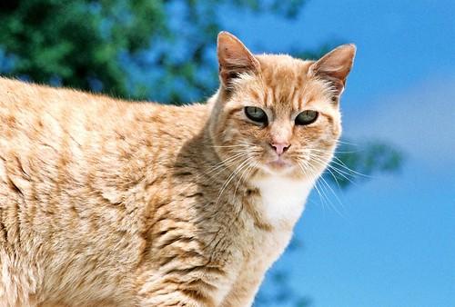 Coppertop Cat in Blue