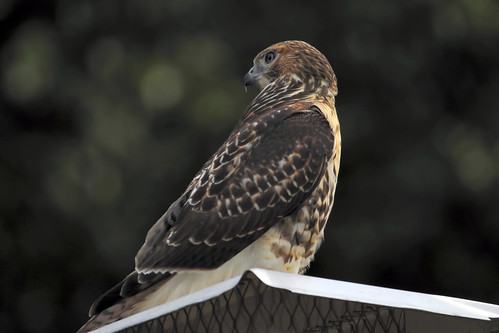 red tailed hawk chimney II 8 2008