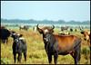Heckrunderen (evoergo) Tags: holland fotosafari flevoland lelystad almere oostvaardersplassen staatsbosbeheer heckrund heckrunderen