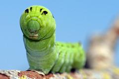 Caterpillar, Raupe, Mittlerer Weinschwärmer, Deilephila elpenor
