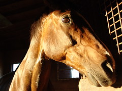 Beetle (calio88) Tags: horse canada st barn canon newfoundland bay farm riding nl equestrian cloverdale johns horesback logy calio88