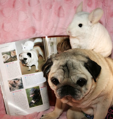 Rescue Love!! (wisely-chosen) Tags: dog cute magazine pug chinchilla bebe lightning theempress ladieshomejournal beebs fawnpug rescuedpug empressbebe pinkwhitechinchilla empressbeebs sweetbeebs rainbowpeacepugpanties