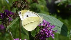 Small White Kleiner Kohlweißling (Aah-Yeah) Tags: white butterfly bayern small kleiner schmetterling pieris achental rapae chiemgau tagfalter kohlweisling marqurtstein