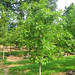 Pin Oak #25