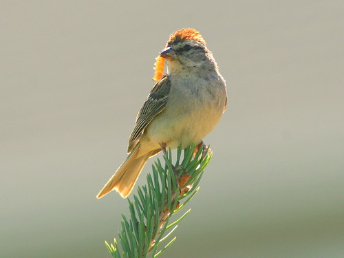 Chipping Sparrow 2-20100816