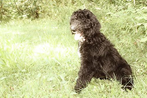 Sheepdog poodle mix