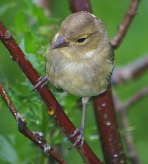 Pentax K100D.Flash.55-300mm Lens.Young Chaffinch Through The Rain.August 16th 2010. (Blue Melanistic.Twelve Million Views.) Tags: ireland wild summer bird window nature fauna garden pentax wildlife flash young overcast august raining 2010 ulster chaffinch tyrone melanistic k100d 55300mmlens hazelscreen