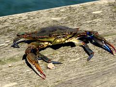 (brendon541) Tags: blue beach nikon sealife crabs avalon