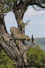 Leopard Kenya Jan 2010 (Wide World Images) Tags: cats kenya leopard mara bigcats 2010 d300 nikon200400