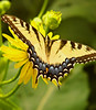 swallowtail (bdaryle) Tags: flower nature yellow butterfly insect wings sony flor easterntigerswallowtail brandondaryle bdaryle imagesbybrandon