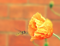 Bee Happy ~ ! (Anuma S. Bhattarai) Tags: uk flowers nepal orange flower macro nature colors buzz photography scotland asia edinburgh flickr zoom unitedkingdom cybershot bee orangeflower hoverfly nepali anuma bhattarai beebuzz cybershotdsch50 anumabhattarai anumasphotography anumasharmabhattarai