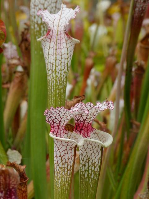 Quelques leucophylla... 4906728305_8fd2769411_z