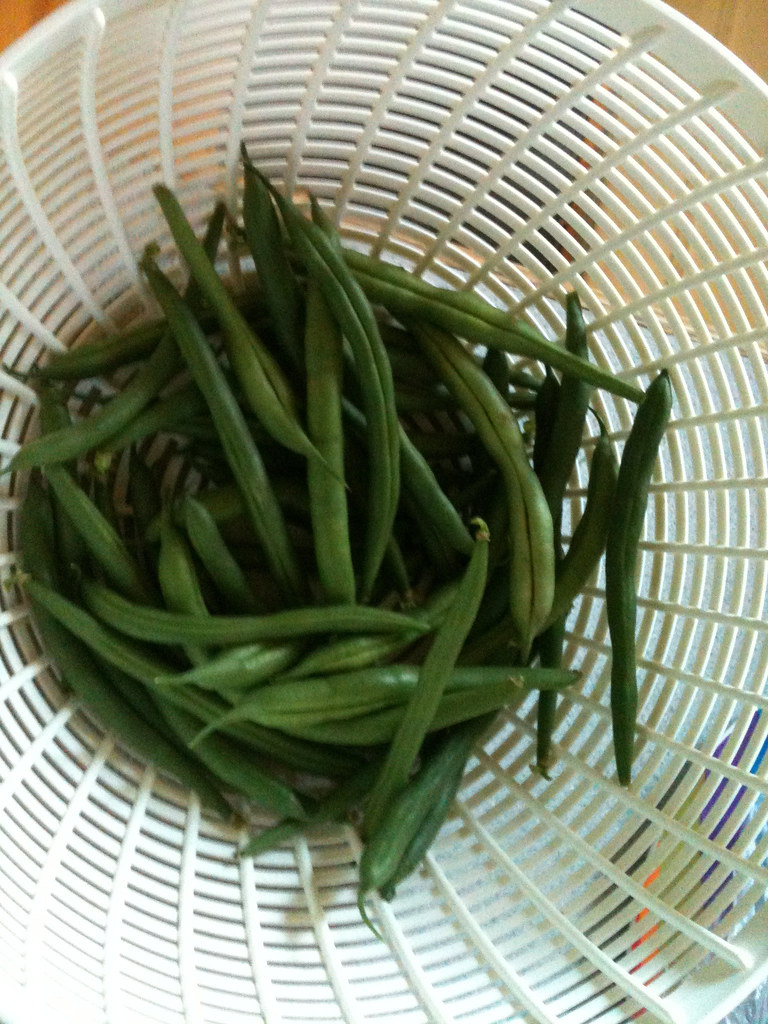 Green bean first harvest