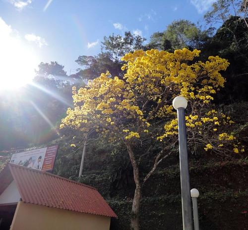Ipê florido em frente à casa