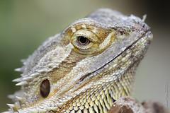 The eye (johnny XXIII & francy VI) Tags: reptile rettile tamron90macro canoneos7d mygearandmepremium mygearandmebronze