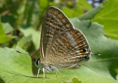 Long Tailed Blue (Lampides boeticus) (Rezamink) Tags: butterflies greece lampidesboeticus longtailedblue