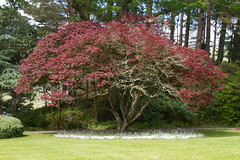Red Tree with Shade Flowers