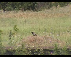 Pica pica (Eurasian Magpie) (Arthur Chapman) Tags: video earth pica magpie picapica gori eurasianmagpie republicofgeorgia taxonomy:order=passeriformes taxonomy:class=aves taxonomy:kingdom=animalia taxonomy:phylum=chordata taxonomy:family=corvidae geo:country=georgia taxonomy:genus=pica geocode:accuracy=5000meters taxonomy:binomial=picapica taxonomy:common=eurasianmagpie Geocode:method=google geo:region=europe