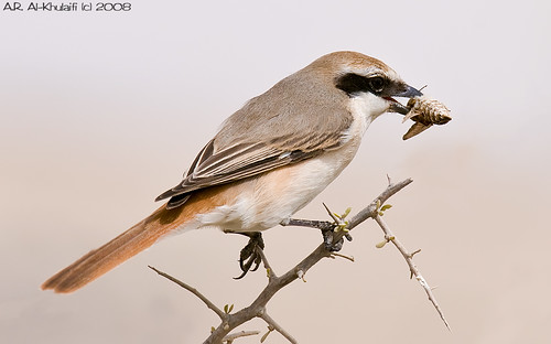 Lunch break - Isabelline Shrike