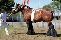 DSC_4645-229 Baron van het Zeegat (Ton van der Weerden) Tags: horses horse de cheval van der nederlands belges ton draft 2010 shertogenbosch chevaux tentoonstelling nationale someren belgisch trait trekpaard trekpaarden weerden nationaletentoonstelling2010