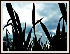 Fields of Barley (annicariad) Tags: barley rain wales cymru filed annicariad waleswetwetwet