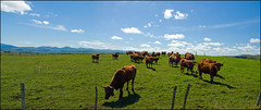 Highlands (TeF46) Tags: france auvergne vaches salers cantal cezallier