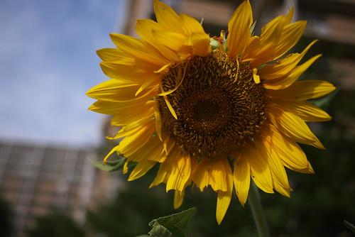 向日葵 Sun Flower