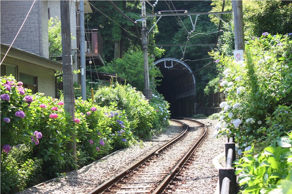 Hydrangeas - Exploring Hase, Kamakura (15)