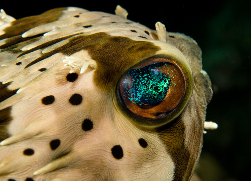 Longspine Porcupinefish (Diodon holocanthus)