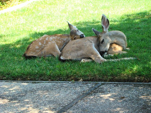 backyard fawns, lucille brooks, wc