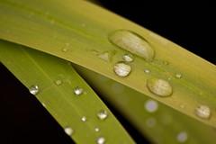 Wet Leaves (Future-Echoes) Tags: water leaves leaf drops dof bokeh depthoffield waterdrops