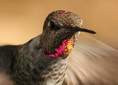 IMG_0115 (William Jensen Photography) Tags: bird hummingbird avian californianative annashummingbird calypteanna canon300mmf4lis montereycountycalifornia canon40d
