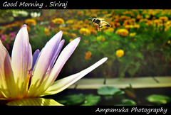 Good Morning , Siriraj /   (AmpamukA) Tags: morning flower water hospital insect fly pond lily good bee thai  siriraj       totallythailand ampamuka