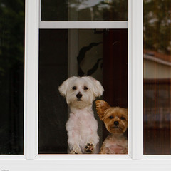 Can we please go outside?? (Phil Marion) Tags: travel vacation dog pet hot sexy love yorkie beautiful beauty sex canon naked nude fun java photo raw phil candid yorkshire canine marion explore terrier mocha smalldog cutedog xxx latte silky toydog canon30d 5photosaday explored morkie platinumphoto philmarion