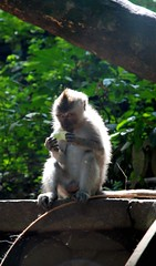 Hanuman the Small (Caneles) Tags: light bali indonesia monkey jungle ape hanuman monkeyforest hanoman abigfave