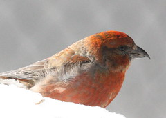 Red Crossbill on the snow (Tombo Pixels) Tags: 7presidents0969 redcrossbill red crossbill bird nj sevenpresidentspark seven presidents park snow longbranch canon newjersey twb1
